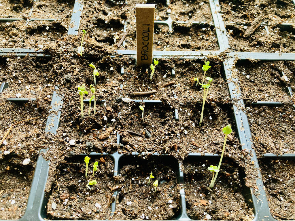 Broccoli seedlings at 100 Prince Street