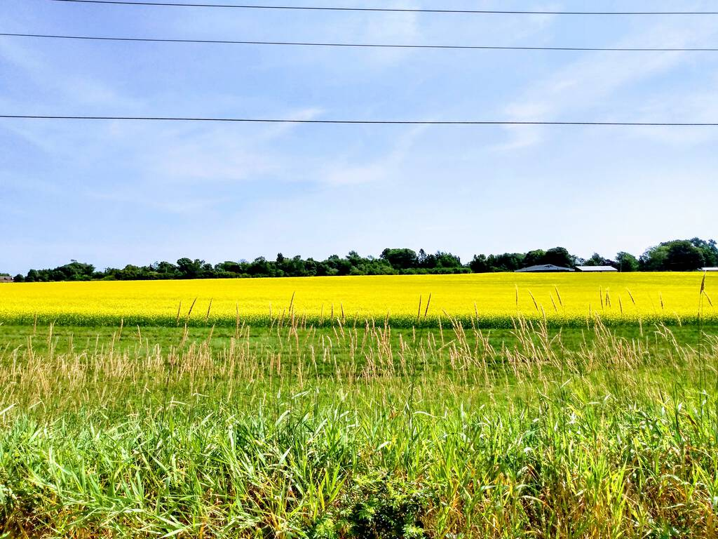 Photo of the gold field beside the Confederation Trail
