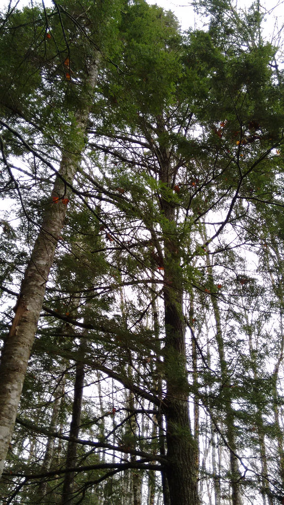 Hemlock at Selkirk Road Public Forest