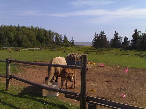 Pioneer Farm Cows