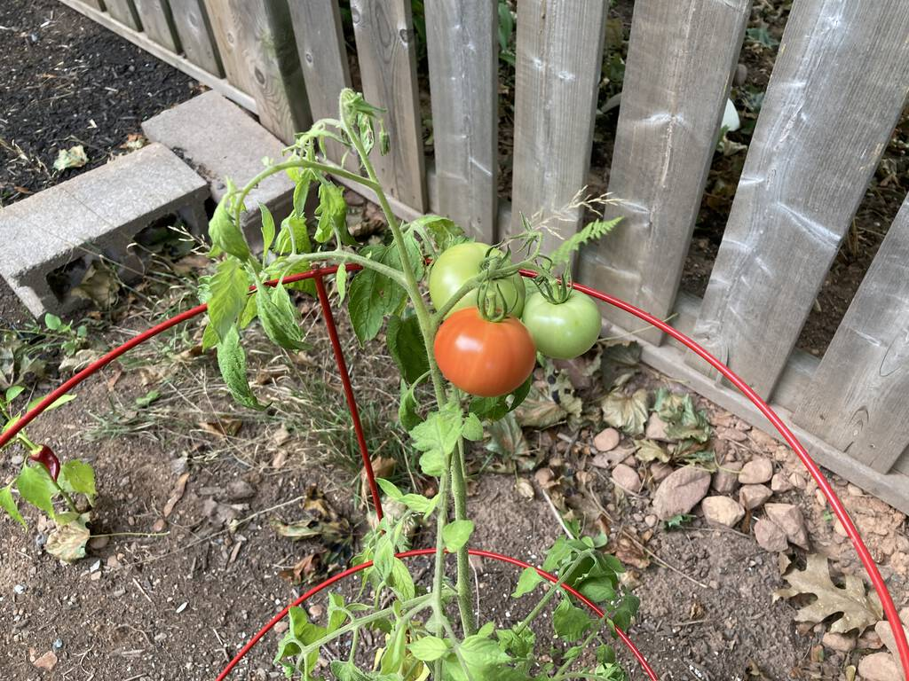 A single red tomato on Jackson the tomato plant.