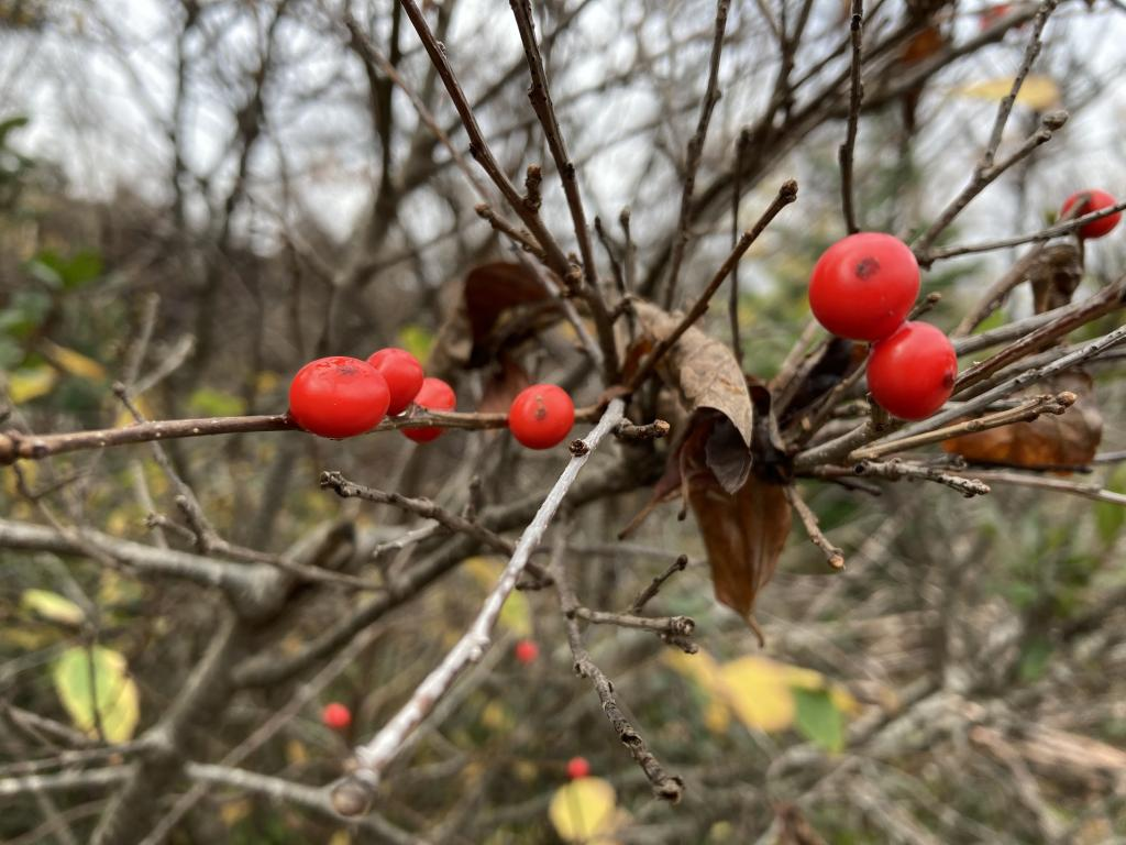 Bright red berries.
