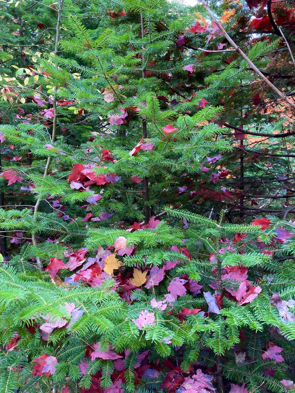 Bright red leaves that fell on a bright green evergreen.