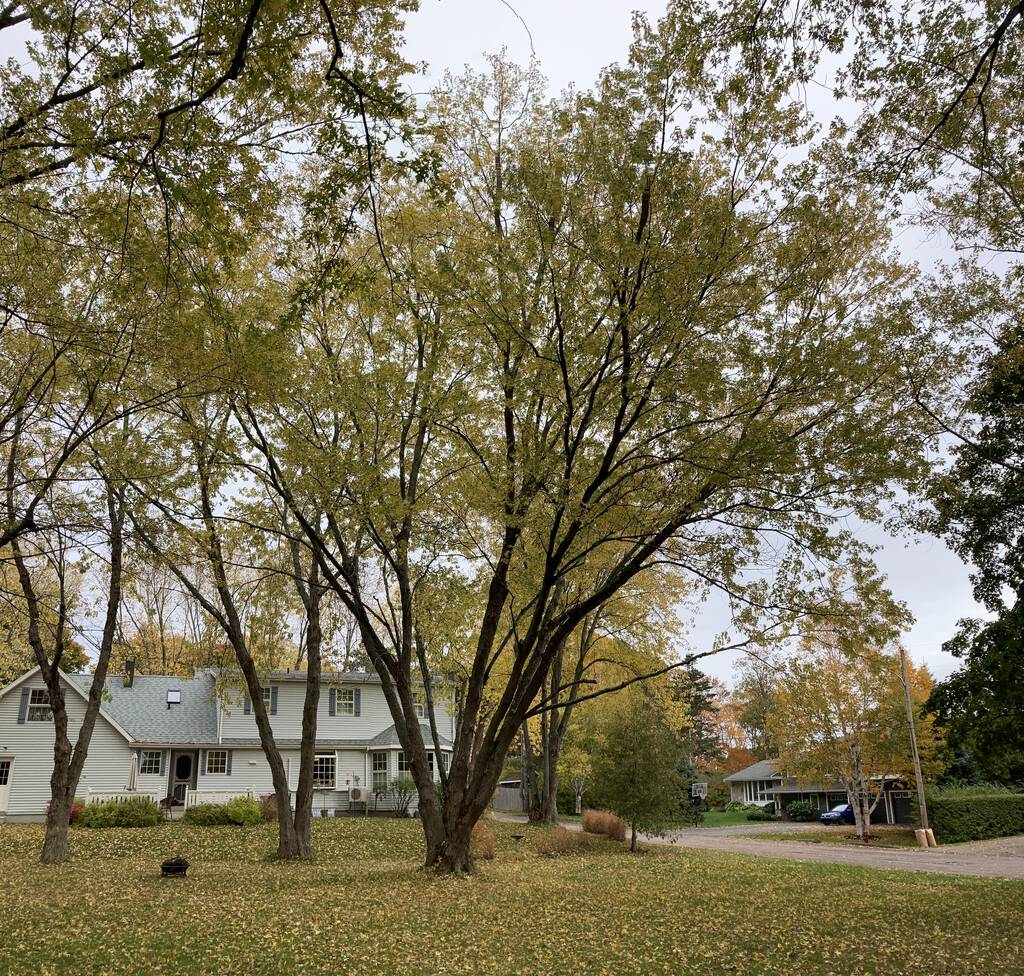 Photo of the silver maple in St. Clair Park.