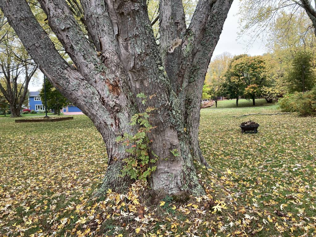 Photo of the base of the large silver maple tree, showing it's a trunk of many parts.