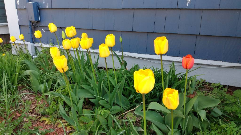 Yellow tulips in our front garden.